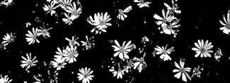 daisy_three